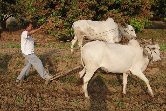 farmer-with-bulls