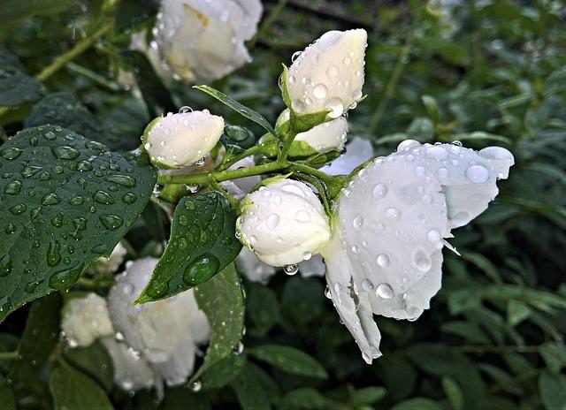 Jasmine-Flower-White