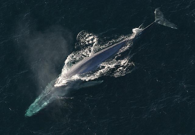 நீலத் திமிங்கலம் (Blue Whale)