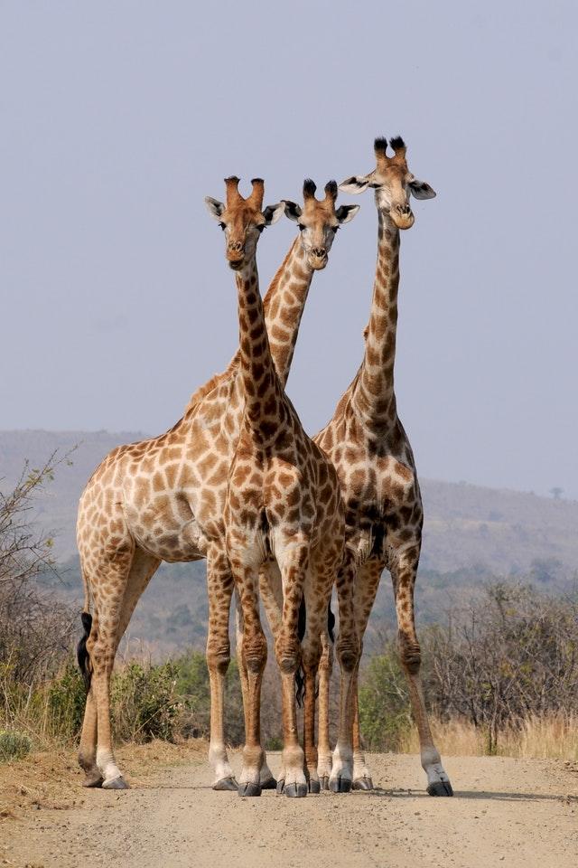 ஒட்டகச்சிவிங்கி - Giraffe